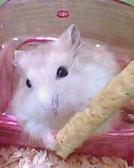 老鼠選美大會